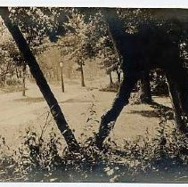 Image of Freak Tree  Scranton Ave. Lake Bluff - Sepia photograph of the trail tree that stood on the north side of the 400 Block of E. Scranton.Message on card from Daisy.  Postmark Nov. 1910.