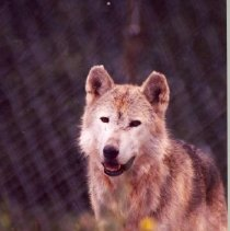 Image of Wolf from Mission Wolf