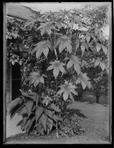 Image of Castor oil bean, photo by Alice Austen, 1887