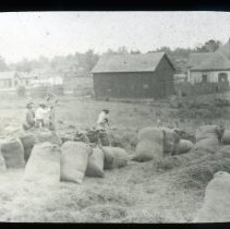 Image of Workers bagging crops - Edward and Josephine Kemp Lantern Slide Collection