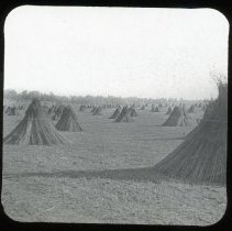 Image of Hemp field - Edward and Josephine Kemp Lantern Slide Collection