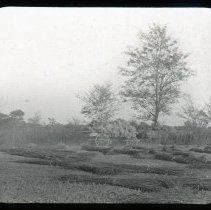 Image of Hemp field with wagon - Edward and Josephine Kemp Lantern Slide Collection