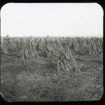 Image of Tobacco - Edward and Josephine Kemp Lantern Slide Collection