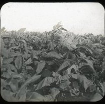 Image of Tobacco - Edward and Josephine Kemp Lantern Slide Collection