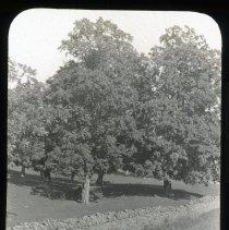 Image of Oak Trees - Edward and Josephine Kemp Lantern Slide Collection