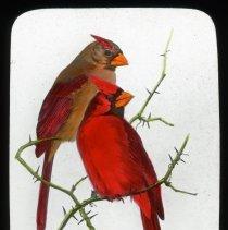 Image of Cardinals - Edward and Josephine Kemp Lantern Slide Collection