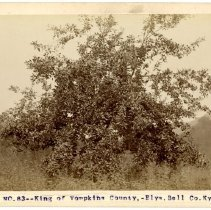 Image of Apple tree in Bell County                                                                                                                                                                                                                                      - Rogers Clark Ballard Thruston Mountain Collection
