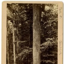Image of Tulip poplar tree                                                                                                                                                                                                                                              - Rogers Clark Ballard Thruston Mountain Collection