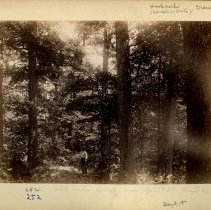Image of White oak forest near Mead's Station                                                                                                                                                                                                                           - Rogers Clark Ballard Thruston Mountain Collection