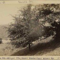 Image of Winged Elm tree                                                                                                                                                                                                                                                - Rogers Clark Ballard Thruston Mountain Collection