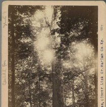 Image of Yellow Poplar tree                                                                                                                                                                                                                                             - Rogers Clark Ballard Thruston Mountain Collection