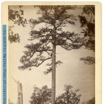 Image of Yellow Pine tree                                                                                                                                                                                                                                               - Rogers Clark Ballard Thruston Mountain Collection