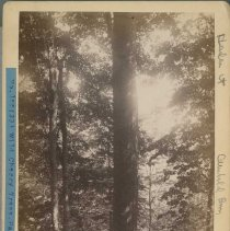 Image of Wild Black Cherry tree                                                                                                                                                                                                                                         - Rogers Clark Ballard Thruston Mountain Collection