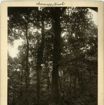 Image of Yellow Birch and Wild Cherry tree                                                                                                                                                                                                                              - Rogers Clark Ballard Thruston Mountain Collection