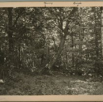 Image of Yellow Birch and Wild Cherry trees                                                                                                                                                                                                                             - Rogers Clark Ballard Thruston Mountain Collection
