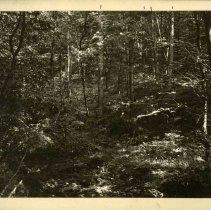 Image of Small growth trees                                                                                                                                                                                                                                             - Rogers Clark Ballard Thruston Mountain Collection