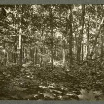 Image of Stand of young trees                                                                                                                                                                                                                                           - Rogers Clark Ballard Thruston Mountain Collection
