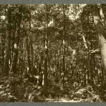 Image of Second growth coppice chestnut                                                                                                                                                                                                                                 - Rogers Clark Ballard Thruston Mountain Collection