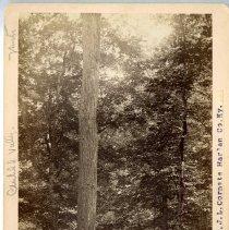 Image of Water oak                                                                                                                                                                                                                                                      - Rogers Clark Ballard Thruston Mountain Collection