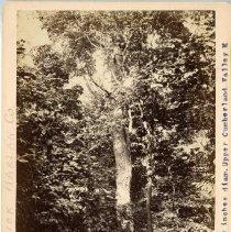Image of Sassafras tree                                                                                                                                                                                                                                                 - Rogers Clark Ballard Thruston Mountain Collection