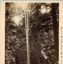Image of Black Locust tree                                                                                                                                                                                                                                              - Rogers Clark Ballard Thruston Mountain Collection