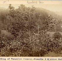 Image of King of Tompkins County apple tree                                                                                                                                                                                                                             - Rogers Clark Ballard Thruston Mountain Collection