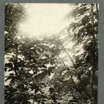 Image of Umbrella Magnolia tree                                                                                                                                                                                                                                         - Rogers Clark Ballard Thruston Mountain Collection