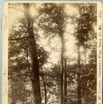 Image of White Oak trees                                                                                                                                                                                                                                                - Rogers Clark Ballard Thruston Mountain Collection