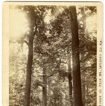 Image of Chestnut trees                                                                                                                                                                                                                                                 - Rogers Clark Ballard Thruston Mountain Collection