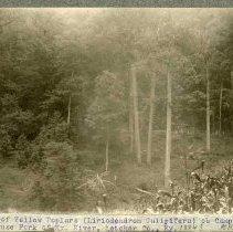 Image of Group of Yellow Poplars                                                                                                                                                                                                                                        - Rogers Clark Ballard Thruston Mountain Collection