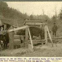 Image of Shoeing an ox                                                                                                                                                                                                                                                  - Rogers Clark Ballard Thruston Mountain Collection