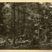 Image of Group of timber                                                                                                                                                                                                                                                - Rogers Clark Ballard Thruston Mountain Collection