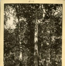 Image of White oaks on Reasor tract                                                                                                                                                                                                                                     - Rogers Clark Ballard Thruston Mountain Collection