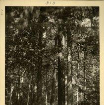 Image of Yellow poplar trees                                                                                                                                                                                                                                            - Rogers Clark Ballard Thruston Mountain Collection