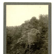 Image of American Linden tree                                                                                                                                                                                                                                           - Rogers Clark Ballard Thruston Mountain Collection