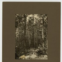 Image of Pine woods                                                                                                                                                                                                                                                     - Fontaine Talbot Fox, Jr. Photograph Collection