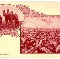 Image of Kentucky Tobacco Field                                                                                                                                                                                                                                         - Postcard Collection