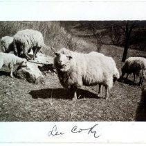Image of Sheep                                                                                                                                                                                                                                                          - Postcard Collection