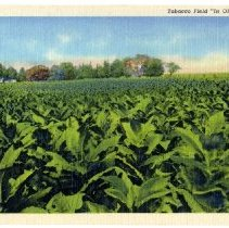 Image of Tobacco Field 'In Old Kentucky'                                                                                                                                                                                                                                - Postcard Collection