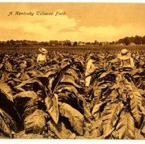 Image of A Kentucky Tobacco Field                                                                                                                                                                                                                                       - Postcard Collection