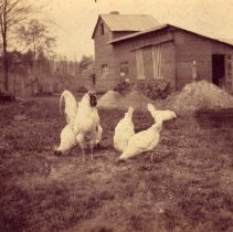 Image of Chickens (1000.124.11)