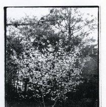 Image of 2008.107.01 - Cherry Blossom Tree on Massachusetts Avenue, Spring 1905