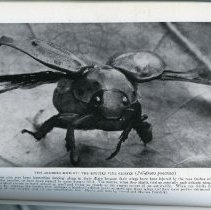 """Image of Page 92, """"The Armored Knight: The Spotted Vine Chafer"""""""