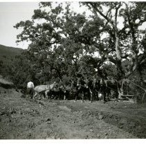 Image of Print, Photographic - B&W photo showing a group of men working mule teams doing road construction.