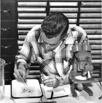 Image of Rocky Mountain Laboratory Photographs - Rocky Mountain Laboratory technician identifying mosquitoes