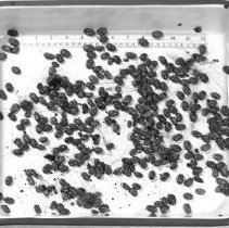 Image of Rocky Mountain Laboratory Photographs - Rocky Mountain Laborary tick photographs