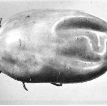 Image of Rocky Mountain Laboratory Photographs - Female tick