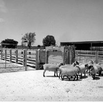 Image of William Gay Photograph Collection - Sheep in the outdoor animal runs at the NIH Animal Center