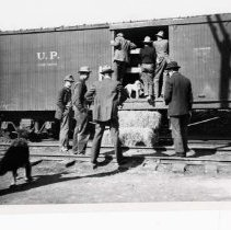 "Image of 1912 Baker, Elk Cargo - ""Mar. 1912.  People looking at Elk near Baker, OR.""  A number of men are standing on the side of, and on the ground near an open U.P. Union Pacific rail car.  There are a couple of stacked bales of hay at the open door to be used as steps.  Out of sight, inside the car, they are looking at Elk who have been imported to the area.  Several dogs are milling about near the men."