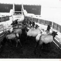 "Image of 1912 Joseph, Elk Imports 2 - ""Mar. 1912.  Bulls, cows and calves take a stretch at the Joseph railroad terminal corral after their ride from Wyoming and Idaho.  The bulls' horns had been sawed off to prevent injury to themselves or to their handlers."""